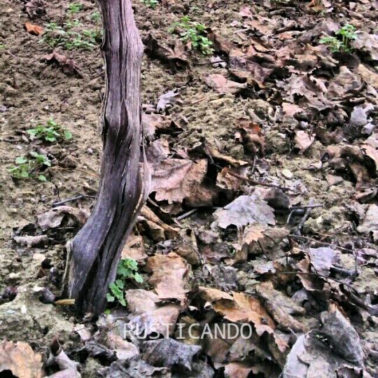 Rusticando : datalle de una viña en diciembre