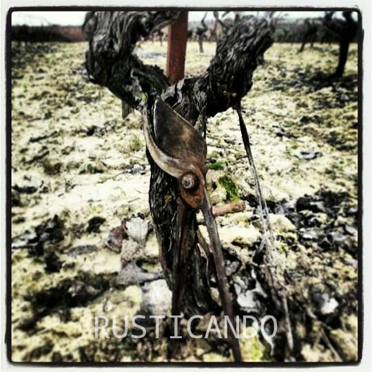 La altura de formación de una cepa podada a vara y pulgar. Estilo tradicional del Marco de Jerez.