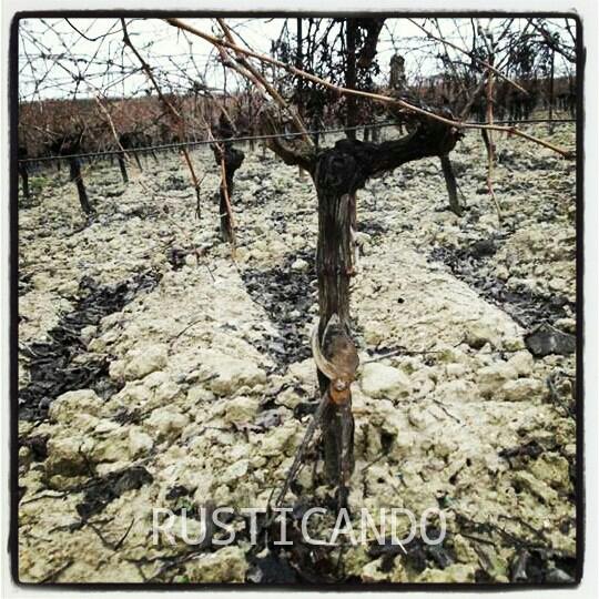 Altura de una cepa de recogida de uva mecanizada. Cepa en la Denominación de Origen Jerez Sherry.