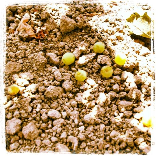 imagen de granos de uva palomino en el suelo en vendimia granujas